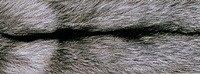 Черно-бурая лисица (Silver Fox)